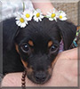 See Juka the Chihuahua-Pinscher  mix