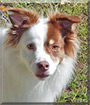 Lucky the Rat Terrier/American Eskimo Dog