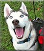 Sasha the Siberian Husky