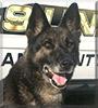 Xanto the German Shepherd Dog
