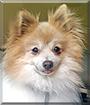 TaunTaun the Pomeranian