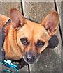 Willa the Chihuahua, Dachshund