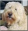 Bella the Poodle, Golden Retriever