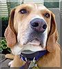 Copper the Labrador, Coonhound mix