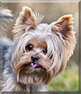 Cypis the Yorkshire Terrier