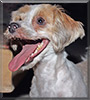 Finnigan the Yorkshire Terrier, Shih Tzu