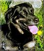 Shanie the Rottweiler, German, Beagle