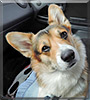 Atlas the Pembroke Welsh Corgi