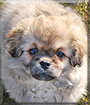 Barney the Tibetan Spaniel