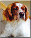 Jack the French Brittany Spaniel