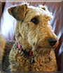 Zoro the Airedale Terrier