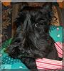 Beah the Scottish Terrier
