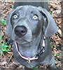 Reagan the Weimaraner