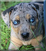 Brulee the Catahoula Leopard Dog