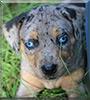 Brulee the Catahoula Leopard Dog
