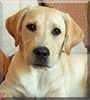 Rafferty Junior the Labrador Retriever