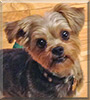 Bobo, the Yorkshire Terrier, Shih Tzu mix