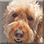 Auggie the Golden Retriever/Poodle