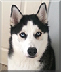 Thor the Siberian Husky