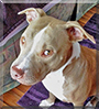 Poppet the American Pit Bull Terrier