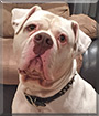 Diesel the American Bulldog