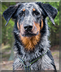 Ygritte the Beauceron