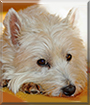 Sandy the West Highland White Terrier
