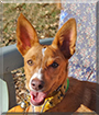 Lizzy the Podenco Andaluz