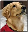 Lichi the Golden Retriever