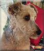 Sadie the Welsh Terrier