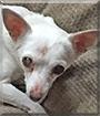 ChaCha the Chihuahua