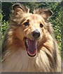 Holly the Shetland Sheepdog