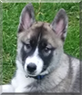 Ares the Siberian Husky