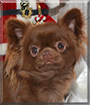Diego the Chihuahua
