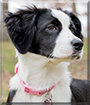 Bug the Border Collie mix