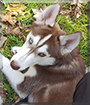 Scarlett the Siberian Husky