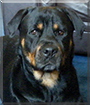 Sharna the Rottweiler