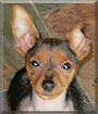 Miracle the Miniature Pinscher/Yorkshire Terrier