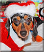 Maya the Miniature Dachshund