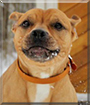 Netti the Staffordshire Terrier