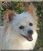 Krypto the Pomeranian/Poodle mix