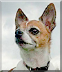 Primo the Jack Russell Terrier, Chihuahua mix