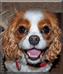 Isabella the Cavalier King Charles Spaniel