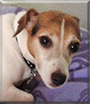 Lilli the Jack Russell Terrier