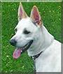 Dakota the German Shepherd, Siberian Husky mix