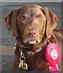 Maya the Chocolate Labrador Retriever
