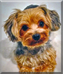 Teddy the Yorkshire Terrier mix
