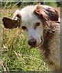 Jule the English Setter Mix