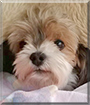 Tobi the Biewer Yorkshire Terrier