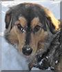 Cooper the Rough Collie/Australian Shepherd mix